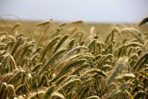 KE: Prognoza plonów roślin uprawnych w UE