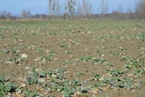 Obawiam się o plantacje rzepaku ozimego