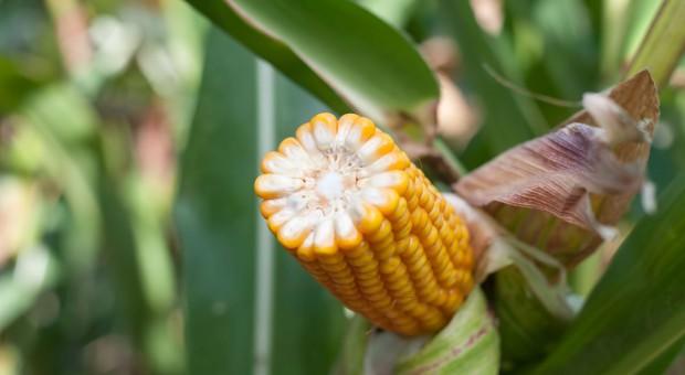 LOZ kukurydzy na rok 2018
