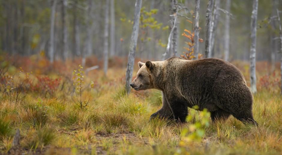 Śródleśne sady zatrzymują niedźwiedzie w lesie