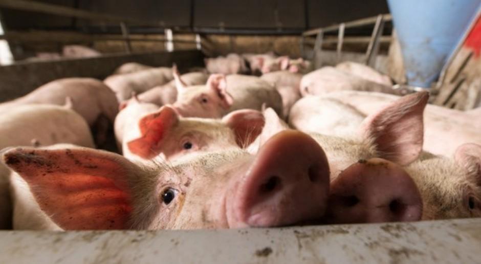 UE: Mniej ubojów świń w 2017 r.