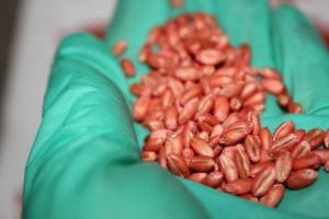 Mało jęczmienia browarnego i pszenżyta - ceny materiału siewnego