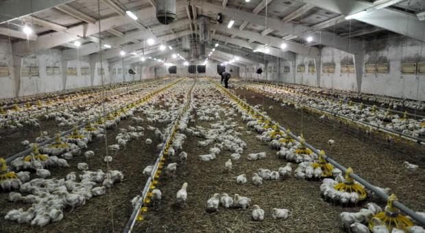 Niemcy potwierdzają wystąpienie ptasiej grypy