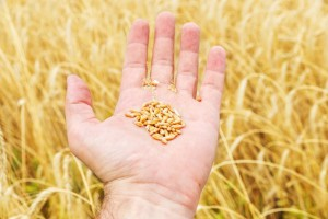 Rosja: Szacunki eksportu zbóż w sezonie 2017/2018