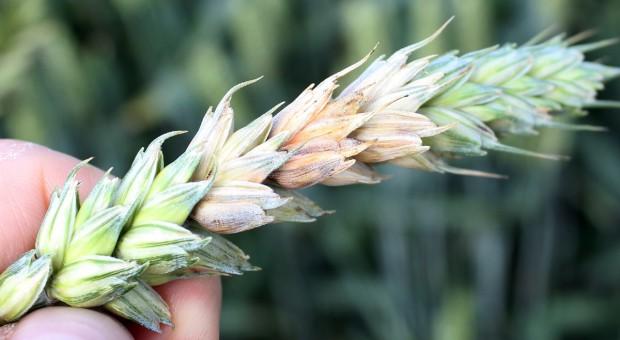 Choroby zbóż ozimych – prognozy mało optymistyczne