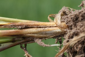 Fuzaryjna zgorzel podstawy źdźbła i korzeni (Fusarium spp.)  Jej objawy to kreskowate, jasnobrązowe lub brunatne nekrozy na podstawie źdźbła lub na dolnych międzywęźlach. Takie plamy mogą otaczać część lub całe źdźbło. Choroba poraża też system korzeniowy zbóż – brunatne nekrozy lub powoduje całkowite brunatnienie korzeni. Fot. G. Lemańczyk