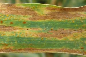 Septorioza paskowana liści pszenicy (Septoria tritici) Oznaki choroby uwidaczniają się już jesienią. Najpierw pojawiają się one na dolnych liściach w postaci drobnych, owalnych plam o barwie żółtej, z jaśniejszym środkiem. Wiosną wydłużają się i brunatnieją, a na plamach występują charakterystyczne jego czarne owocniki. Z czasem grzyb przechodzi na wyższe partie liści. Fot. A. Kobus