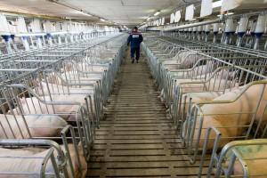 Chiny: Możliwy wzrost taryf celnych na amerykańskie produkty, m.in. na wieprzowinę