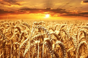 Giełdy krajowe: Coraz więcej sprzedających zboża