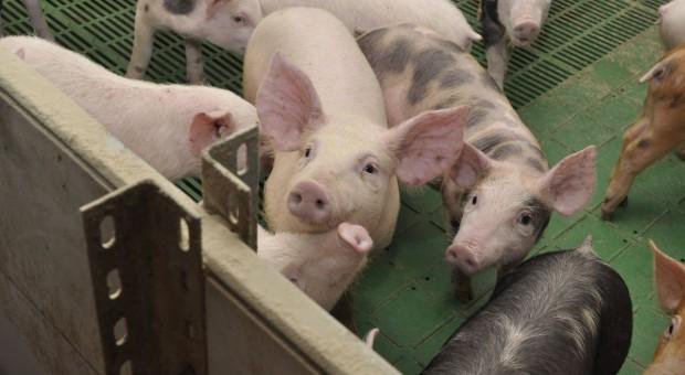 Pleuropneumonia - potrafi zdziesiątkować stado świń