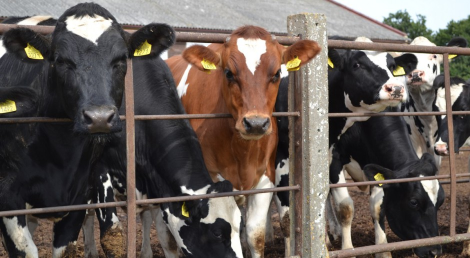 Hodowcy bydła nie będą musieli dokonywać spisu zwierząt w ARiMR
