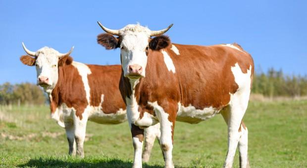 Zeszły rok dobry dla producentów wołowiny