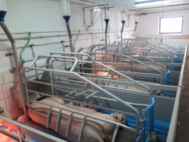 Sektor porodowy z kojcami dla loch z tzw. windą. fot. I. Dyba