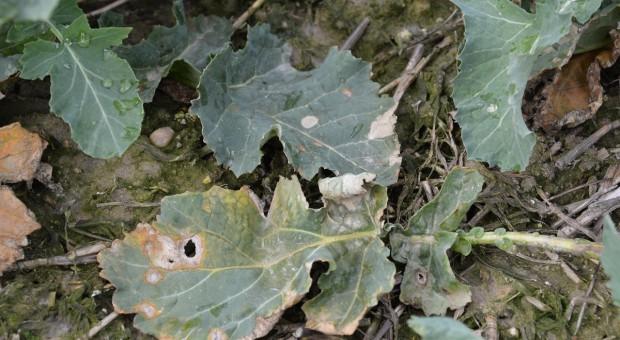 Trudne zwalczanie suchej zgnilizny kapustnych w rzepaku