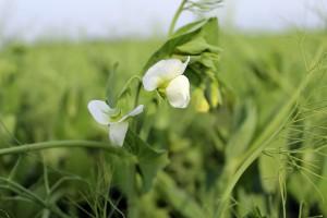 Strączkowe na EFA – tym razem bez pestycydów