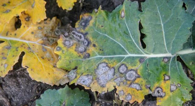 Wiosenne zwalczanie suchej zgnilizny kapustnych