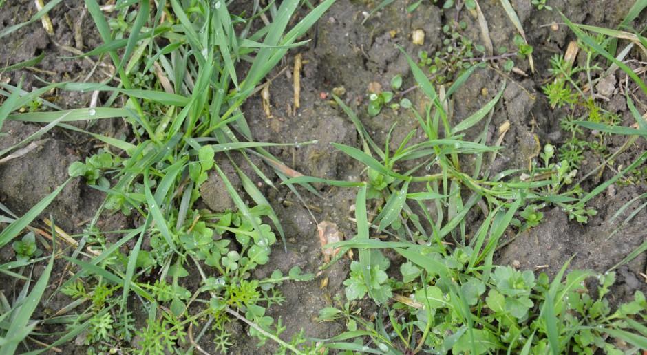 Odchwaszczanie pszenicy ozimej wczesną wiosną - herbicydy