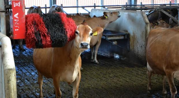 Dobrostan bydła mlecznego – co trzeba jeszcze poprawić?