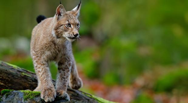 W lasach Podkarpacia przybywa dzikiej zwierzyny