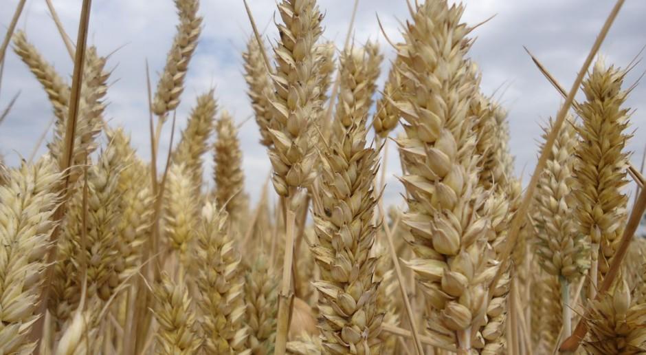 Rosja: Ministerstwo ostrzega przed nadmierną uprawą pszenicy