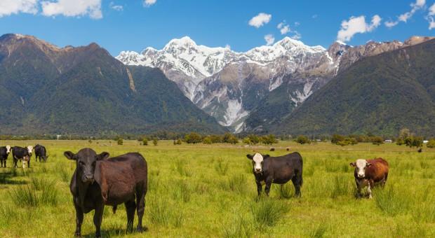 Nowa Zelandia: 22,3 tys. sztuk bydła zostanie poddanych ubojowi