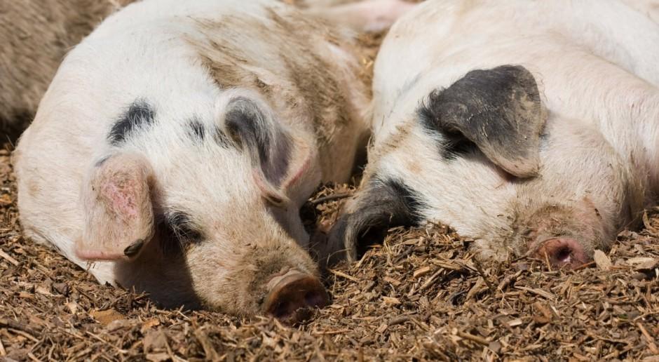 Ceny świń w Niemczech jak na razie bez zmian