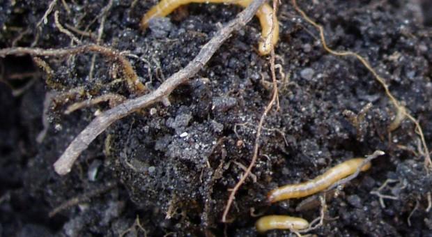 Drutowce, larwy sprężykowatych