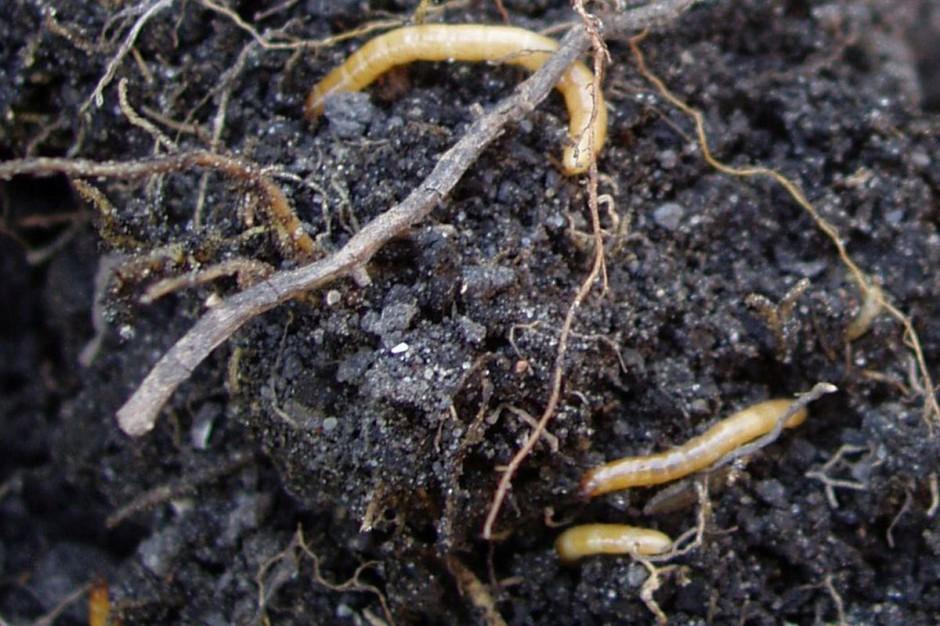 Drutowce - larwy sprężykowatych, fot. IOR