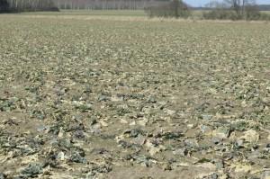Plantacja została zasilona pierwszą dawką azotu już 3 tygodnie temu. Niestety, dopiero teraz na roślinach można zaobserwować pierwsze przyrosty