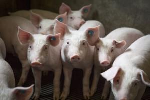 Co może ograniczać wzrosty cen wieprzowiny w 2018 r.?