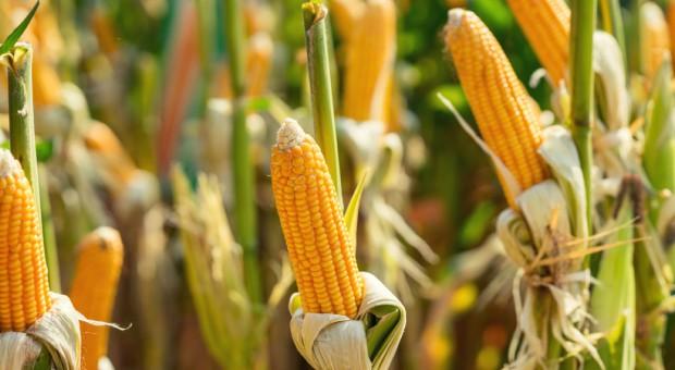 USA: Mniejsza powierzchnia uprawy kukurydzy i soi