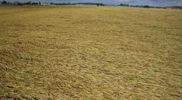 Przygotuj się do zabiegu skracania zbóż