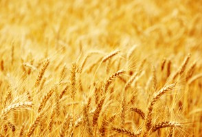 USDA: Wzrost prognozy światowej produkcji pszenicy i spadek zbóż paszowych