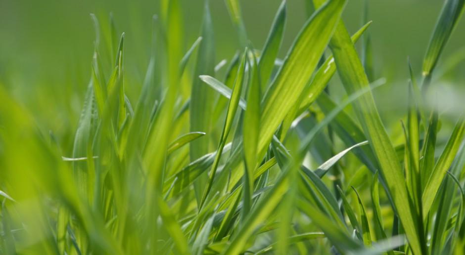 Najważniejszy mikroelement dla zbóż