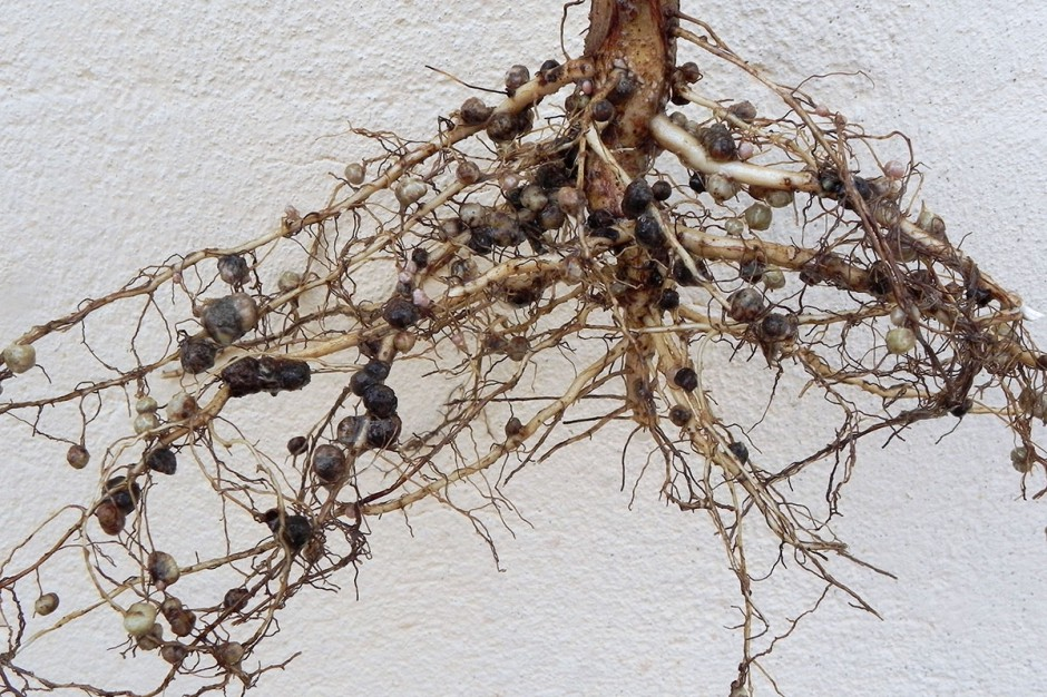 Soja tylko z zaszczepionych nasion