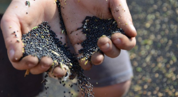 Wysoka cena kukurydzy, niższa rzepaku