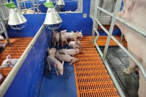 Możliwości ograniczania stosowania antybiotyków w produkcji świń