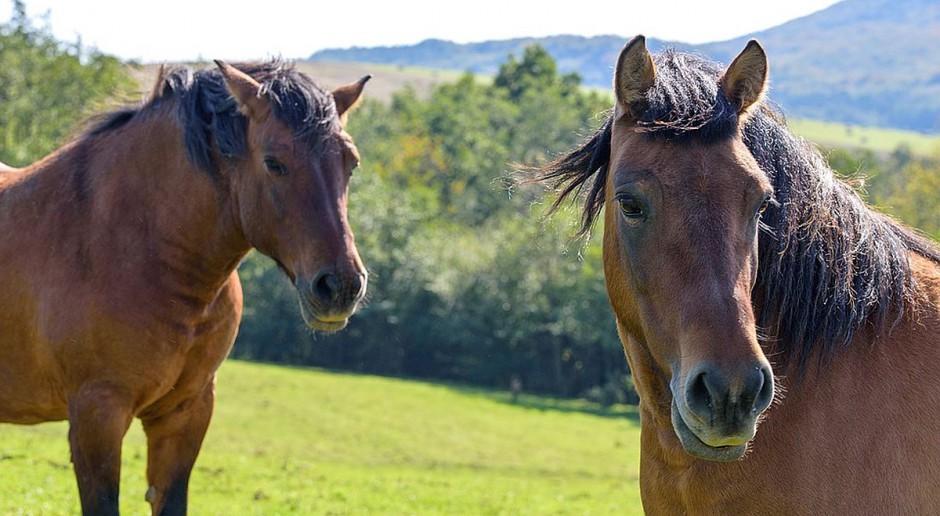 Zaniedbane konie w rezerwacie koło Świnoujścia. Zawinili… obrońcy zwierząt