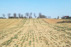Są plantacje, które już na etapie siewu nie miały zachowanej równomiernej i wzorcowej obsady. Wysmalające działanie wiatrów przerzedziły ją jeszcze bardziej; Fot. A. Kobus