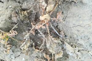 Przemrożona i wysmolona roślina rzepaku; Fot. A.Kobus
