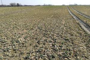 Rośliny mają słaby wigor, przede wszystkim dlatego że ich korzeń bywa mocno uszkodzony; Fot. A. Kobus