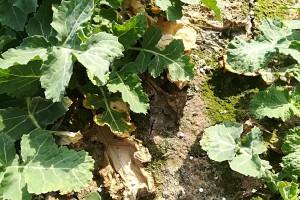 W strefach,  gdzie rośliny zachowały obsadę podana jest obecnie druga dawka azotu; Fot. A. Kobus