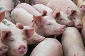 USA: Wzrosło pogłowie świń