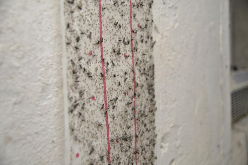 Jednym ze sposobów kontroli populacji much w chlewniach jest zastosowanie lepów Fot. Redakcja