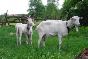 Kozy karpackie i polskie owce górskie w sanockim skansenie