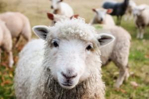 Robotyczny pies Spot jako zaganiacz owiec w Nowej Zelandii