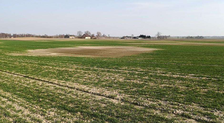 Jakie agrofagi zagrażają obecnie oziminom?