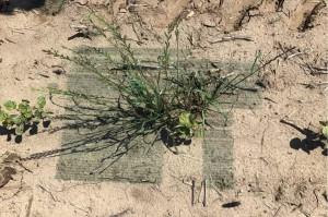 Każdy rozpoznany chwast zostaje opryskany przez sterowane elektronicznie dysze, dodatkowo można ustawić strefę buforową wokół uprawianych roślin a także wokół samych chwastów aby np. pryskać także kilka cm wokół nich. fot. mat prasowe