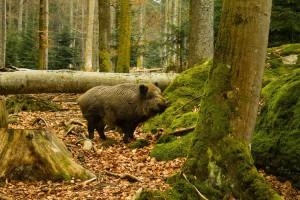 Rolnicy z Podlasia oczekują skuteczniejszego odstrzału dzików