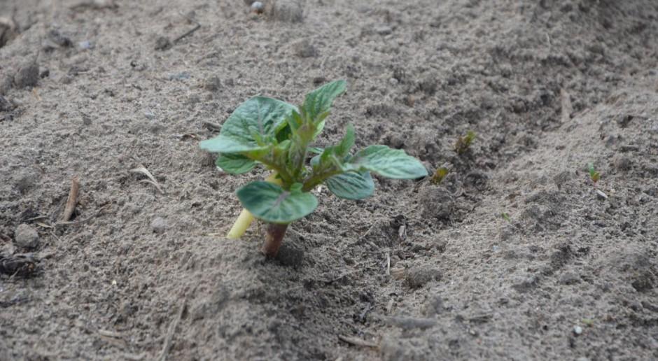 Nawozów azotowych pod ziemniaka nie mieszaj zbyt głęboko